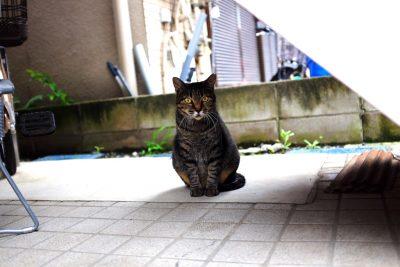 【カメネコ vol.7】かまってちゃんかな?こちらへの視線に謎の執念を感じるサバトラにゃんこ。
